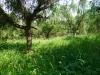 Semenný sad smrekovca opadavého