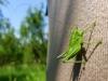 Zo života hmyzu: Zelený fešák