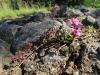 Kvietok na skale (materina dúška)