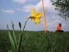 Narcis pod Vojšínom (-: