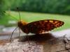 Zo života hmyzu: motýľ